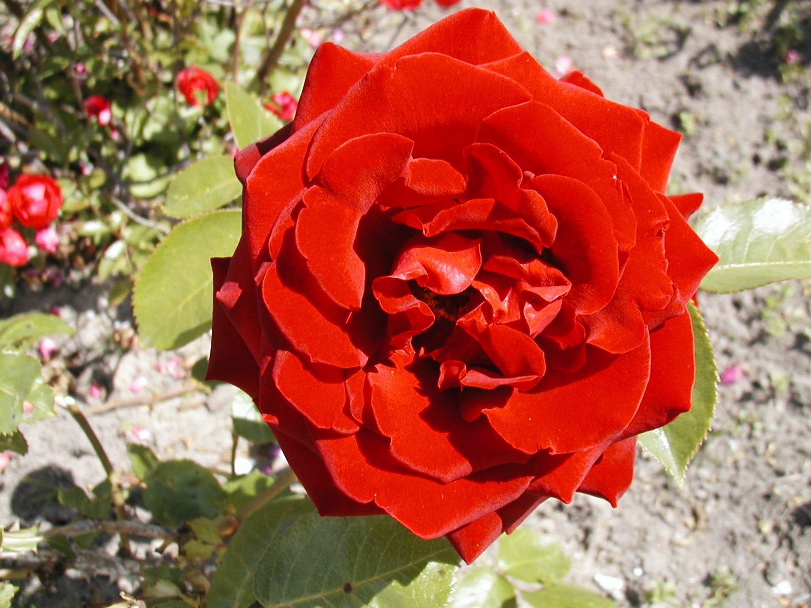 roseingridbergman00.jpg