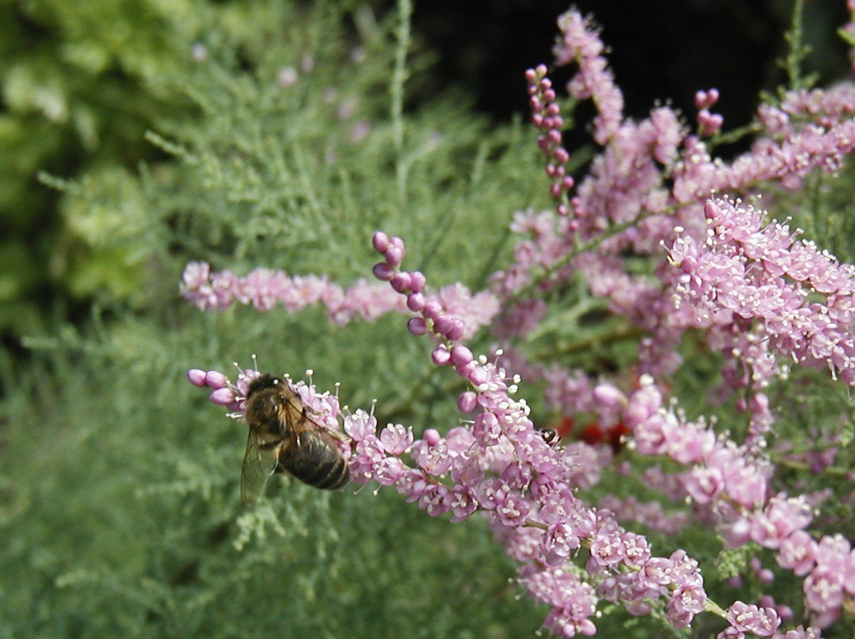abeilletamarisrose24.jpg