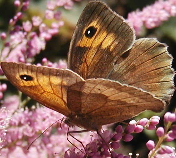 papillontamarisrose78.jpg