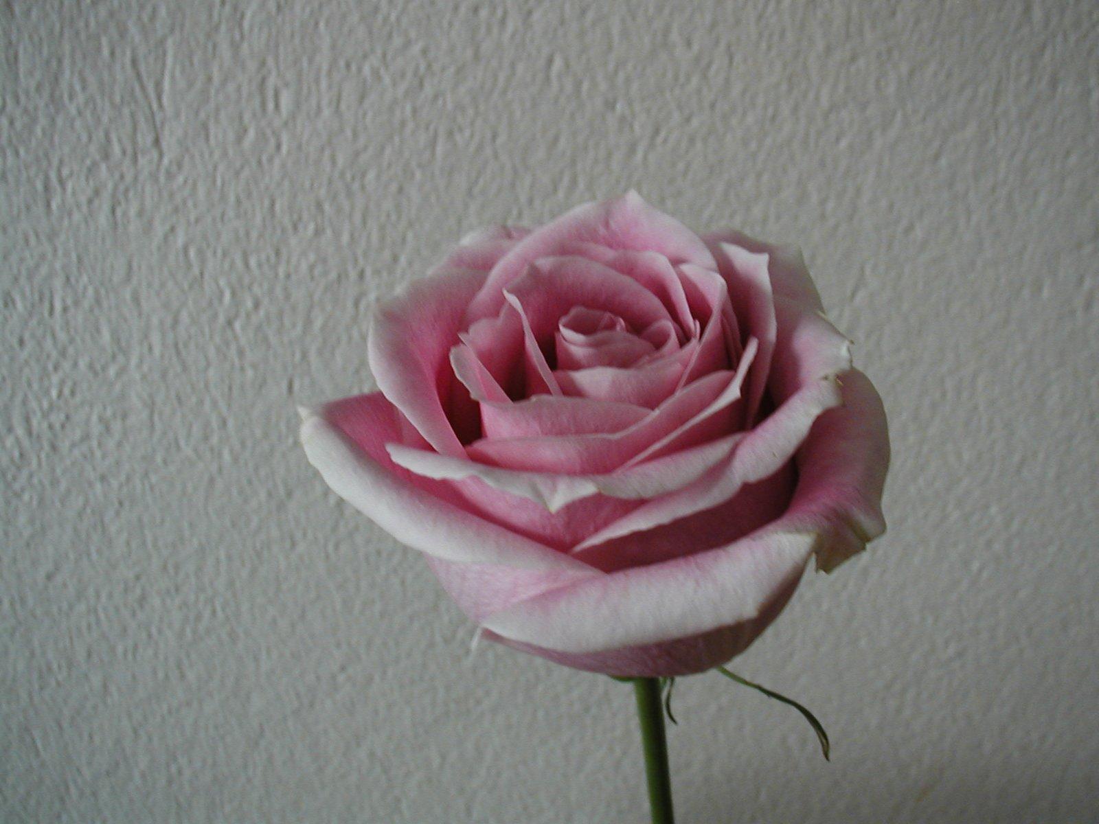 rose38.jpg