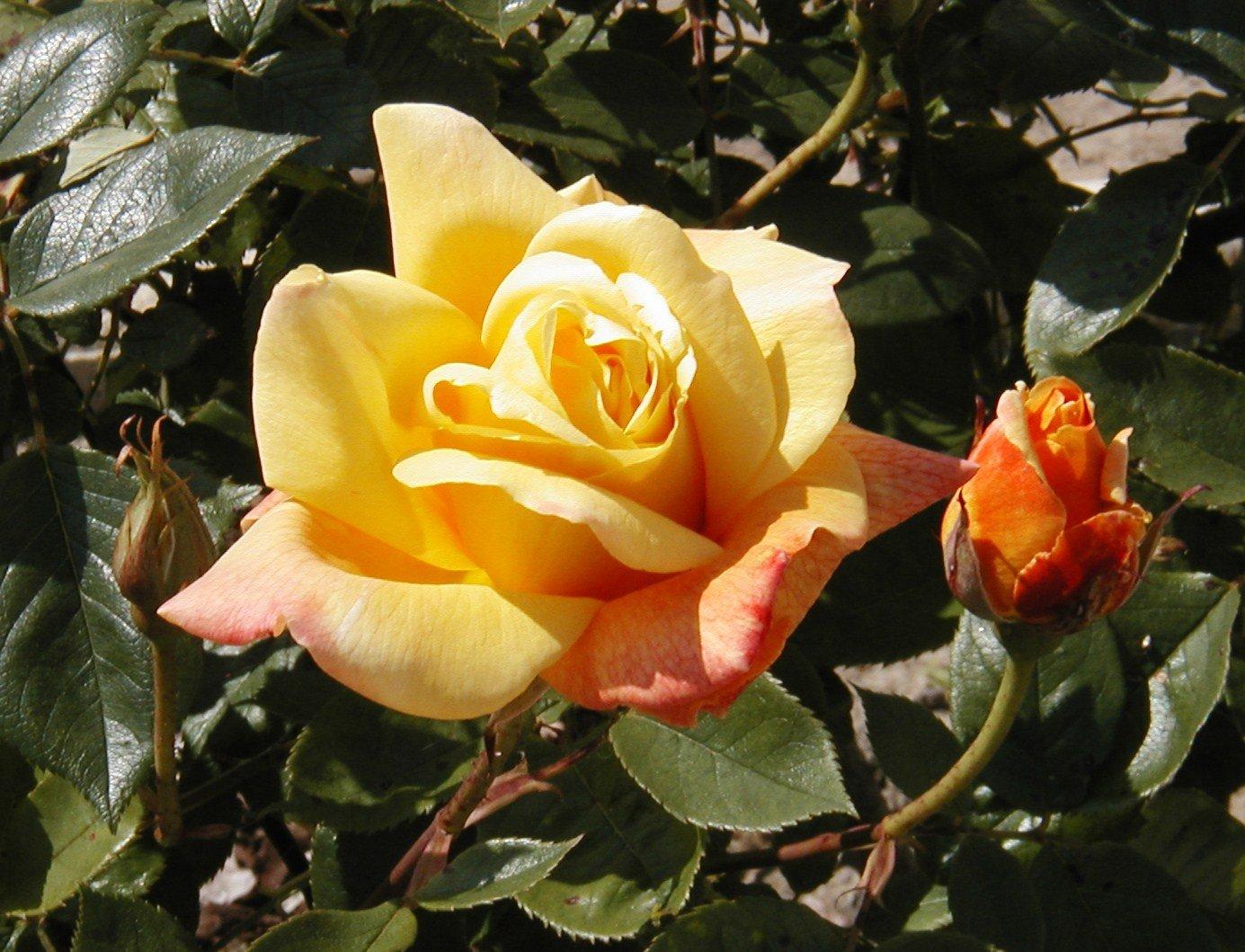 rosedouxparfumetsesboutons07.jpg