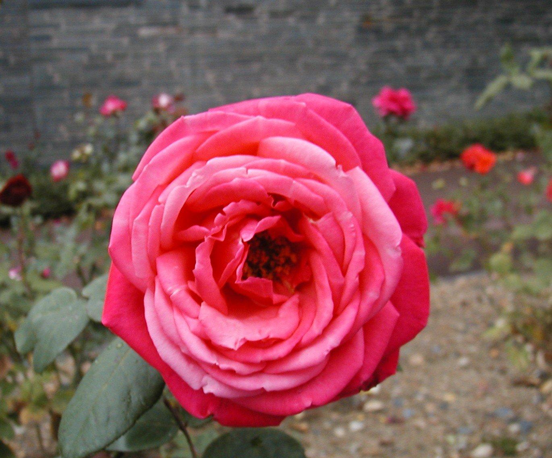 roseaprslapluie05.jpg