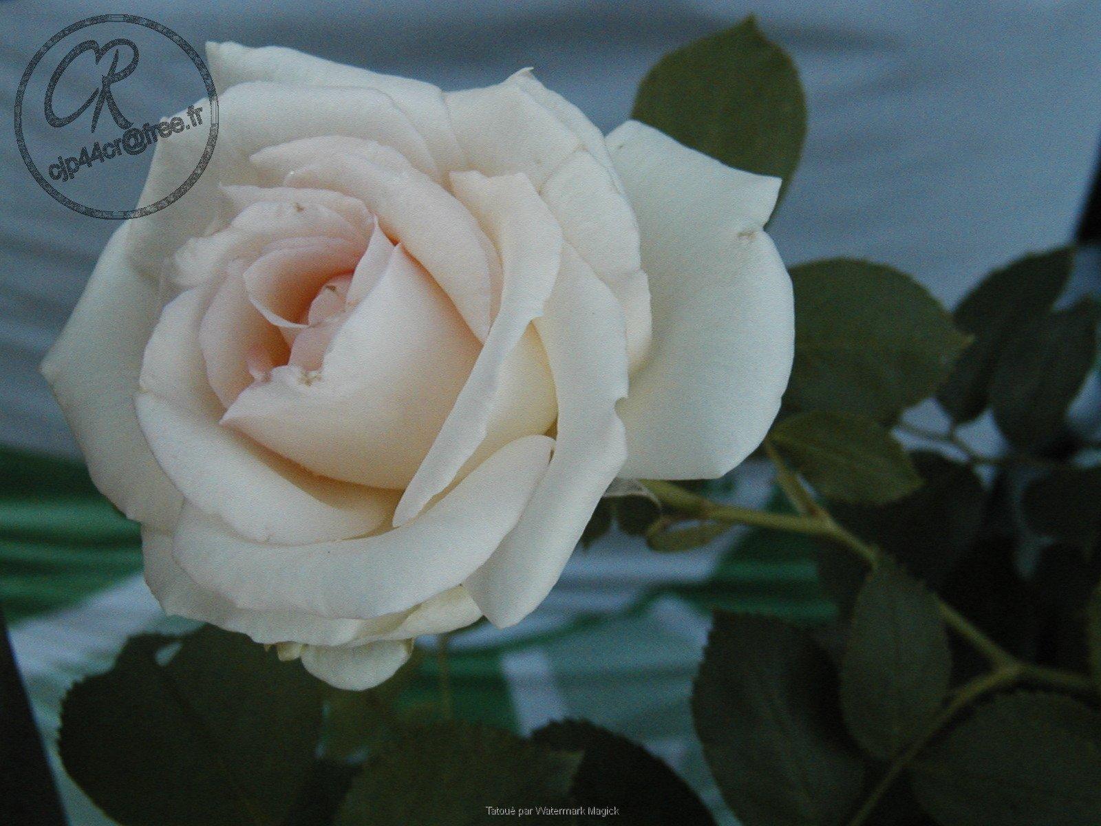 rosepalaisroyaldusoir02.jpg