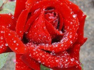 ROSE IB après la pluie